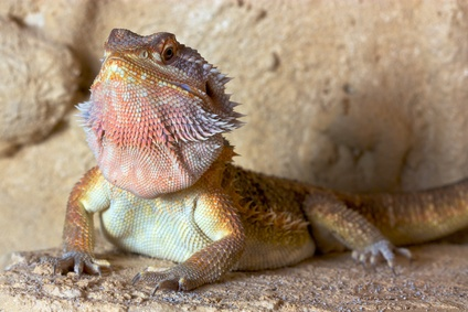 Sandfire Bearded Dragon