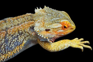 Unhealthy Bearded Dragon