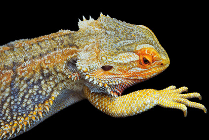 Bearded Dragons Mating Behavior