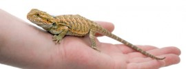 Buying Healthy Bearded Dragon