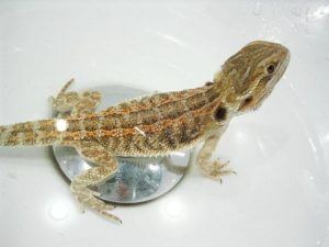 Giving Bearded Dragon Bath