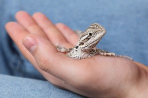 Handling Bearded Dragon