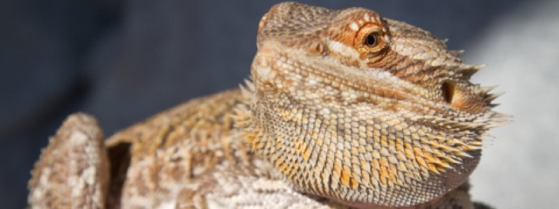 7 Common Myths of Owning a Bearded Dragon