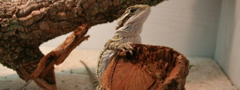 Choose the Proper Enclosure for a Bearded Dragon