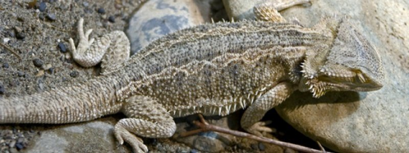 Common Causes of Death for a Bearded Dragon