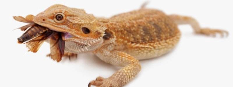 Feeding Bearded Dragons Wild-Caught Insects