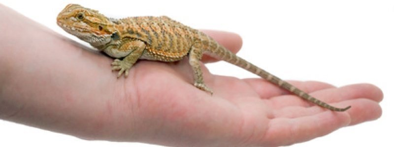How to Buy a Healthy Bearded Dragon