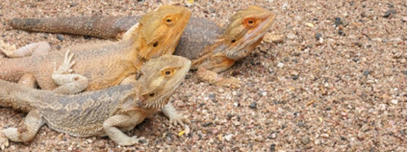 How to Prevent Impaction with Bearded Dragons
