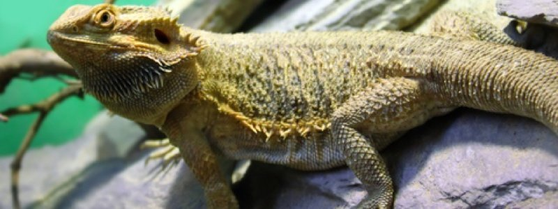 Plants and Decor for a Bearded Dragon
