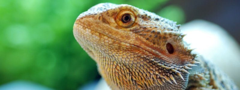 Protect Your Bearded Dragon from Burns