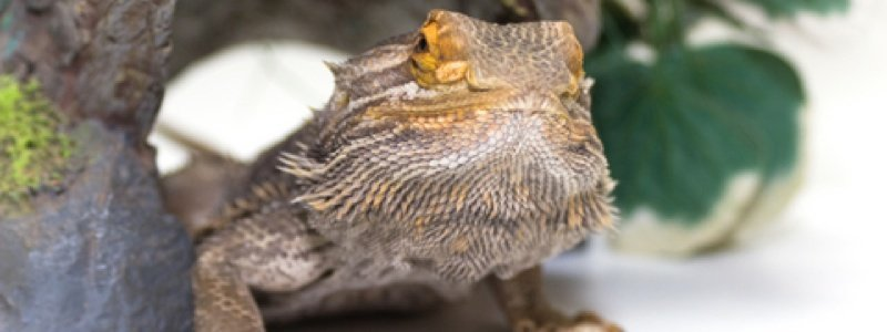 Selecting the Right Hide Box for a Bearded Dragon