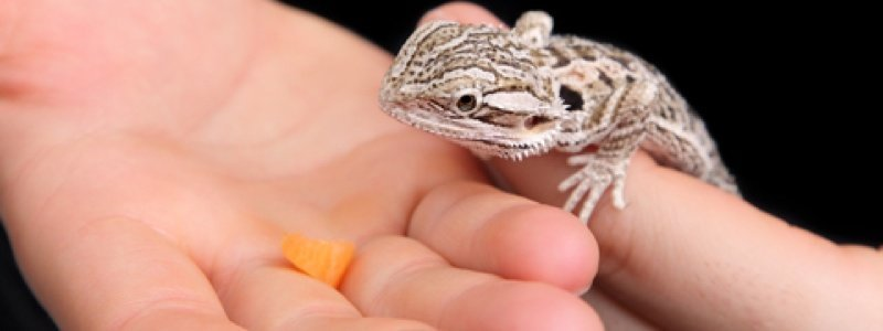 The Best Foods for a Bearded Dragon