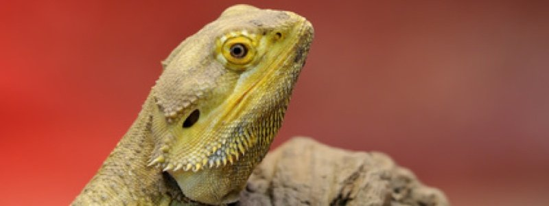 The Cost of Keeping a Bearded Dragon
