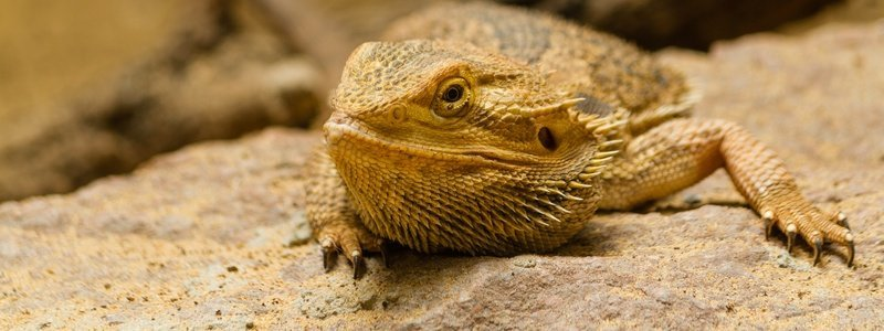 What Causes a Bearded Dragon to Act Lazy or Lethargic