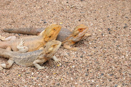 Prevent Bearded Dragon Impaction