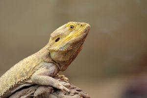 Bearded Dragon Perched Upon Limb