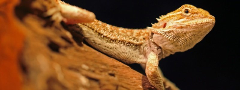Bearded Dragon Care Tips During Winter