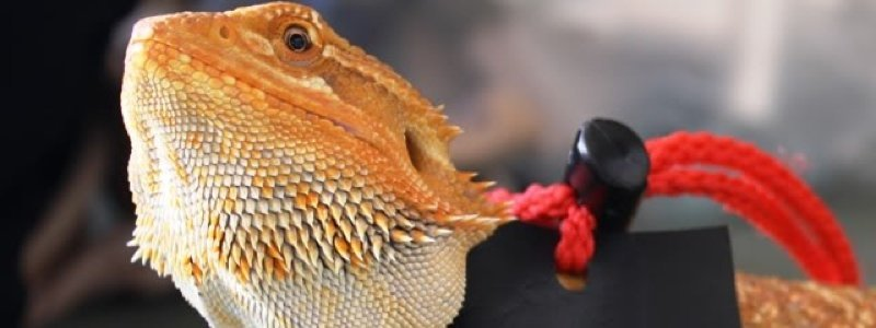 5 Fun Activities for Bearded Dragons