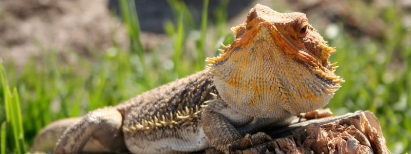 Bearded Dragon Care Tips for Summer