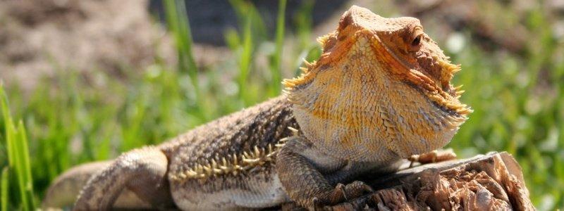 Bearded Dragon Care Tips for Summer