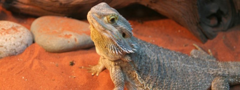 Choosing the Best Substrate for a Bearded Dragon