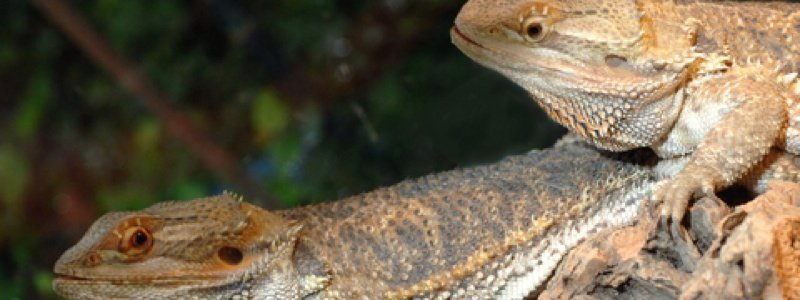 How to Condition Bearded Dragons Before Mating