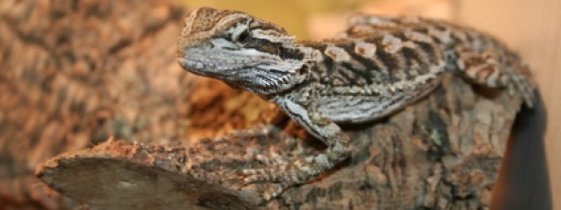 Creating Basking and Cooling Zones for a Bearded Dragon