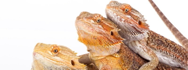 Different Behaviors of Bearded Dragons
