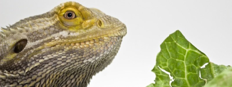 6 Foods to Avoid Feeding a Bearded Dragon