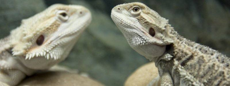 Humidity Levels for a Bearded Dragon