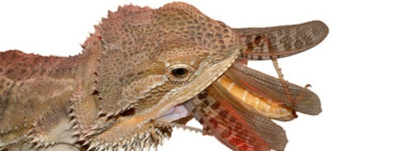 Common Issues When Feeding a Bearded Dragon