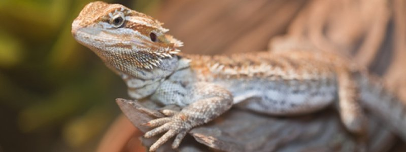 Lighting Requirements for a Bearded Dragon