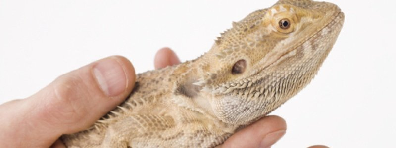 Properly Handling a Bearded Dragon