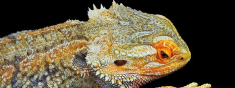 14 Signs of an Unhealthy Bearded Dragon