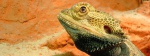 Acquiring Your First Bearded Dragon