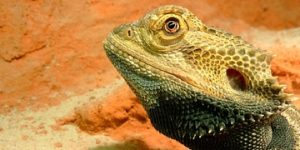 The Best Lighting for a Bearded Dragon