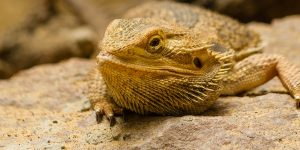 What Causes a Bearded Dragon to Act Lazy or Lethargic?