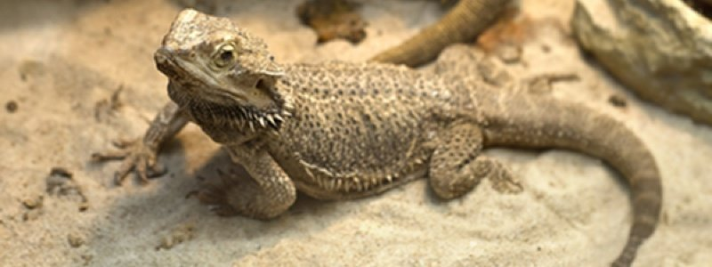 What to Do Before Buying a Bearded Dragon