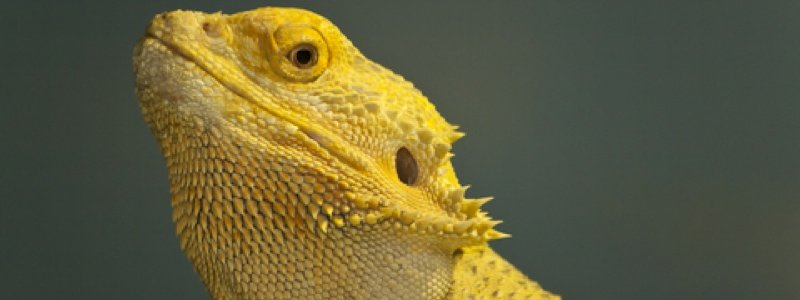 What to Know Before Buying a Bearded Dragon