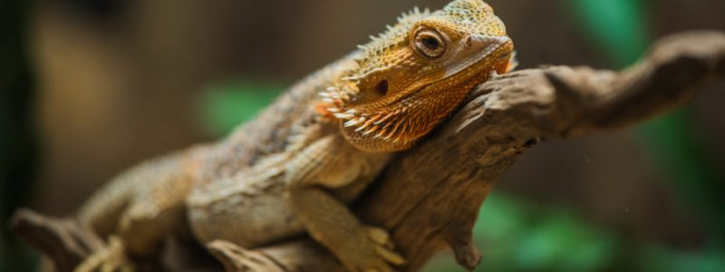 12 Common Mistakes Bearded Dragon Owners Make