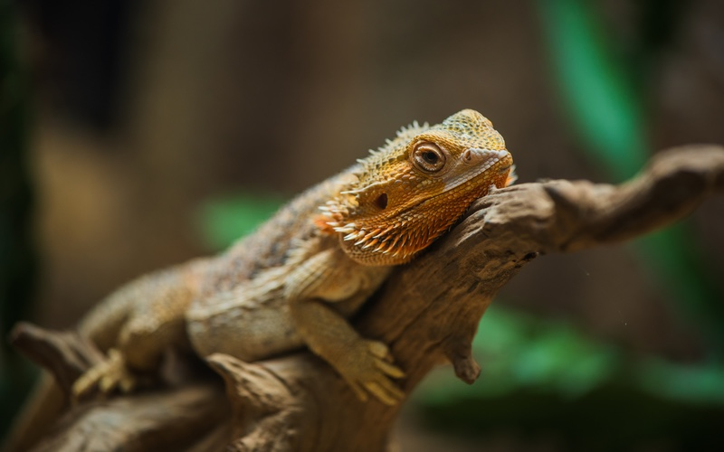 Bearded Dragon Heating Requirements
