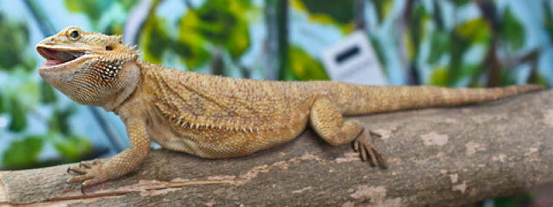 Image result for bearded dragon
