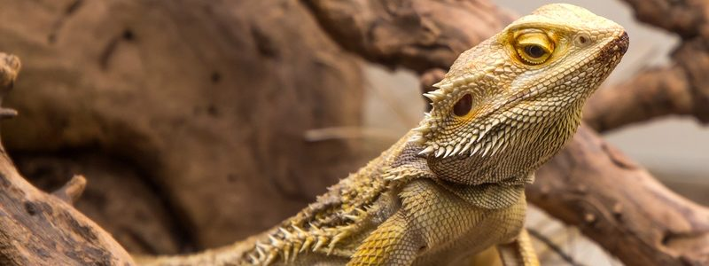 Bearded Dragon Housing Requirements