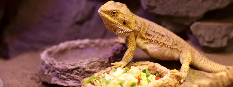 Adult Bearded Dragon Feeding Schedule