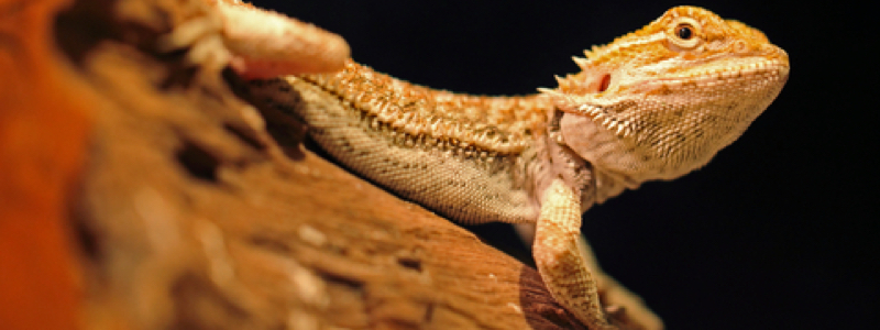 Bearded Dragon Care Sheet Conclusion
