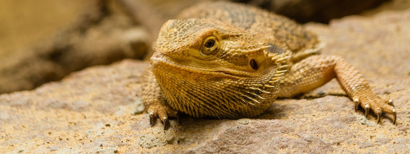 Common Health Issues of Bearded Dragons