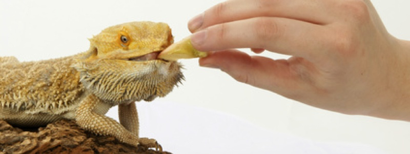 Juvenile Bearded Dragon Feeding Schedule