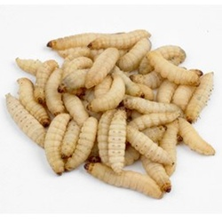 Live Waxworms